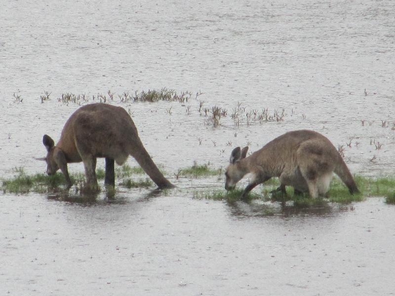 אוסטרליה - קנגרו